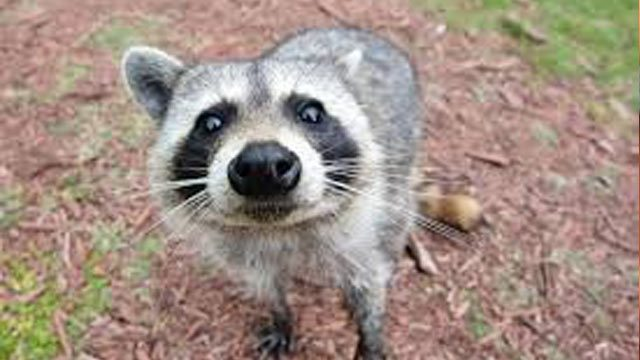 Poopy the Coon